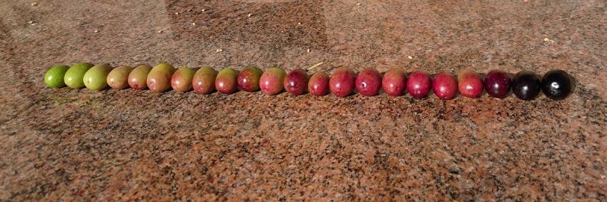 Reifeskala der Oliven