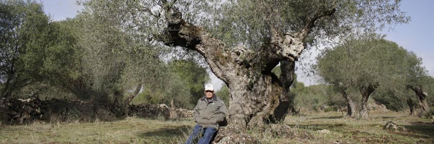 400 Jahre alter Olivenbaum im Familienbesitz