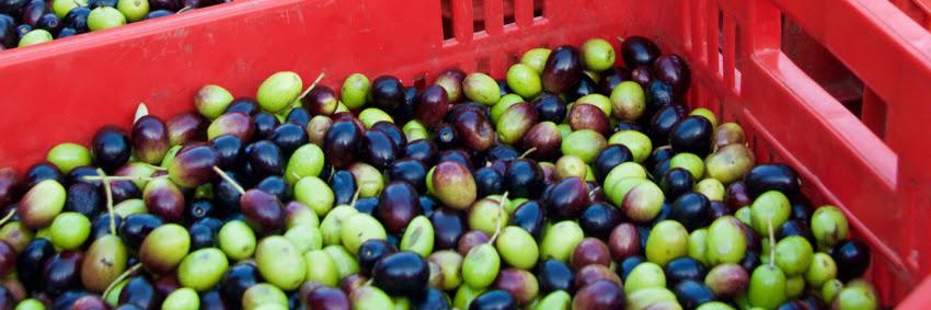 Transportkiste der geerntete Oliven